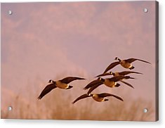 Geese Flying Over Acrylic Print by Jeff Swan
