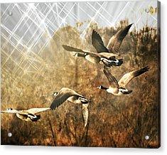 Geese In Flight 2 Acrylic Print by Marty Koch