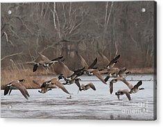Geese In Flight Acrylic Print by Heidi Piccerelli