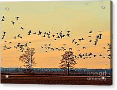 Geese In Flight I Acrylic Print by Debbie Portwood