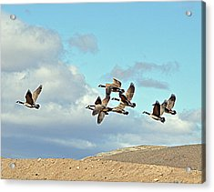 Acrylic Print featuring the photograph Geese In Flight by Lula Adams