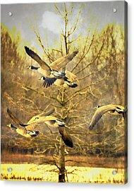 Geese In Flight Acrylic Print by Marty Koch