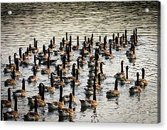 Geese In Sunset Light Acrylic Print
