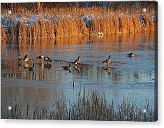 Geese In Wetlands Acrylic Print