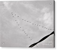Geese Acrylic Print by Judy Via-Wolff