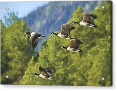 Geese On A Mission Acrylic Print