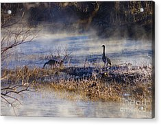 Geese Taking A Break Acrylic Print