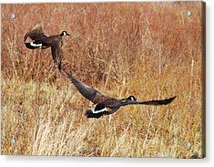 Geese - Taking Off In Flight Acrylic Print by Janice Adomeit