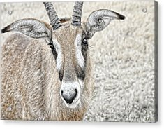Acrylic Print featuring the photograph Young Oryx by Dyle   Warren