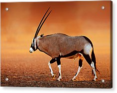 Gemsbok On Desert Plains At Sunset Acrylic Print by Johan Swanepoel