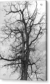 Genoa Tree Acrylic Print