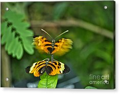 Acrylic Print featuring the photograph Gentle Butterfly Courtship 03 by Thomas Woolworth