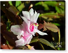 Acrylic Print featuring the photograph Gentle Pink by Ramona Matei