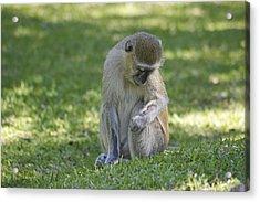 Gentle Vervet Monkey  Acrylic Print by Brian Kamprath