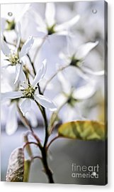 Gentle White Spring Flowers Acrylic Print