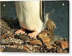 Gentoo Penguin Feet Acrylic Print