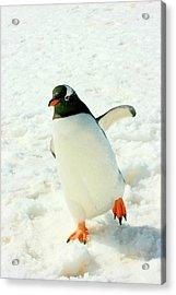 Gentoo Penguin Running Acrylic Print
