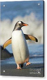 Gentoo Penguin Waddling Cooper Bay Acrylic Print
