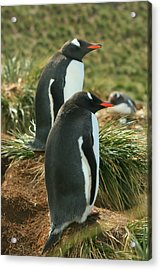 Gentoo Penguins Acrylic Print