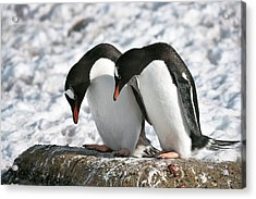 Gentoo Penguins Pair Bonding Acrylic Print