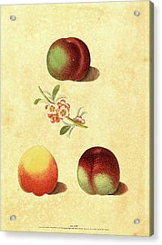 George Brookshaw, British Active 1812, Three Peaches Acrylic Print