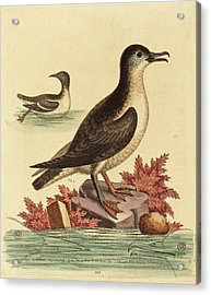 George Edwards English, 1694 - 1773, The Guillemot Acrylic Print by Quint Lox