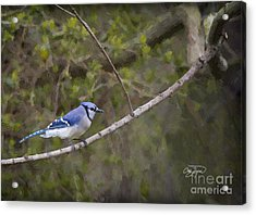 Georgia Bluejay In Spring Acrylic Print by Cris Hayes