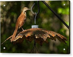 Acrylic Print featuring the photograph Georgia State Bird - Brown Thrasher by Robert L Jackson