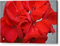 Geranium Red Acrylic Print