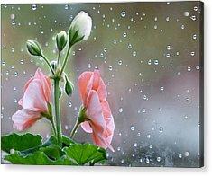 Geraniums Acrylic Print by Geraldine Alexander