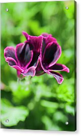 Geraniums (pelargonium Sp.) Acrylic Print by Gustoimages/science Photo Library