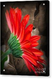Gerber Daisy Bashful Red Acrylic Print