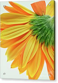 Acrylic Print featuring the photograph Gerber Daisy Number 1 by Art Barker