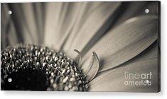 Gerbera Blossom - Bw Acrylic Print by Hannes Cmarits