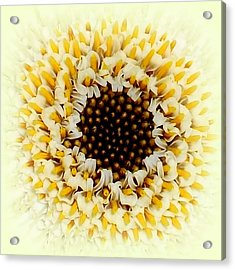 Gerbera Closeup Acrylic Print by The Creative Minds Art and Photography