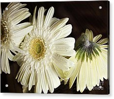 Gerbera Daisies Acrylic Print by Tom Brickhouse