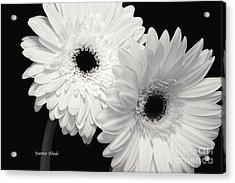Gerbera Daisy Sisters Acrylic Print by Jeannie Rhode