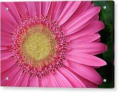 Gerbera Daisy 2 Acrylic Print
