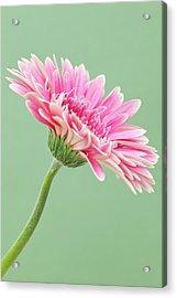Gerbera Daisy Flower Acrylic Print by Andrew Dernie