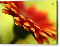 Gerbera Daisy Flower II Acrylic Print by Natalie Kinnear