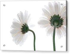 Gerbera Daisy I Acrylic Print