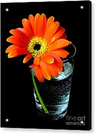 Acrylic Print featuring the photograph Gerbera Daisy In Glass Of Water by Nina Ficur Feenan