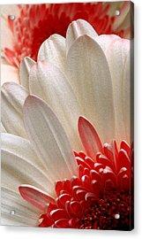 Gerbera Daisy Iv Acrylic Print