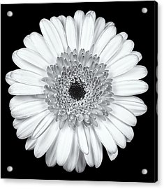 Gerbera Daisy Monochrome Acrylic Print