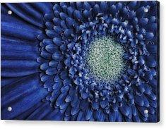 Gerbera Daisy Acrylic Print by Susan Candelario