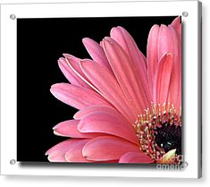 Acrylic Print featuring the photograph Gerbera Encore by Chris Anderson