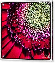 Gerbera Flower Acrylic Print by Christy Bruna