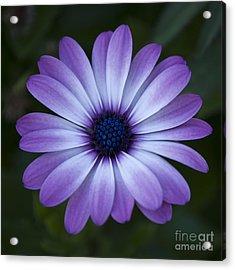 Gerbera In Purple Acrylic Print