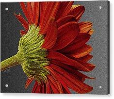 Gerbera In Red Acrylic Print by Megan Washington