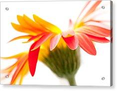 Gerbera Mix Crazy Flower - Orange Yellow Acrylic Print by Natalie Kinnear